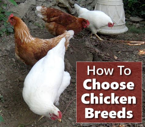 how to choose a breed how to choose your chicken breeds