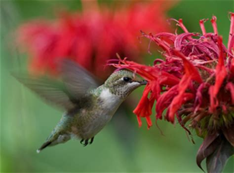four tips for attracting hummingbirds the national