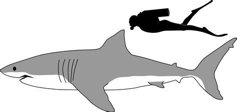 File:Great white shark size comparison.svg - Wikimedia Commons