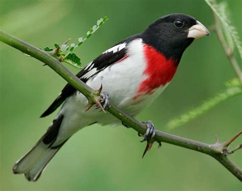 rose breasted grosbeak facts habitat diet life cycle