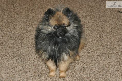 teacup pomeranian for sale utah pomeranian for sale for 800 near provo orem utah 0554e8dc 6f31