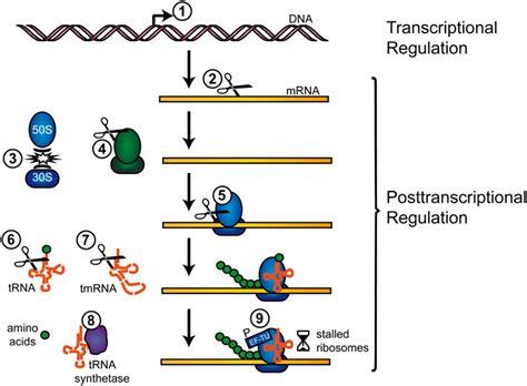 frontiers transcriptional regulation of mononuclear gene regulation in bacteria stromwechseln