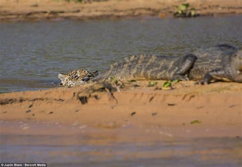 jaguar hunts crocodile that s how you hunt crocodiles this big jaguar s