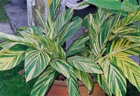 honje hijau kuning alpinia zerumbet variegata