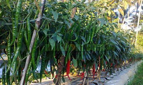 gambar tanaman cabe merah mitalom