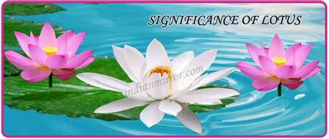 lotus information for lotus flower information in telugu language best flowers