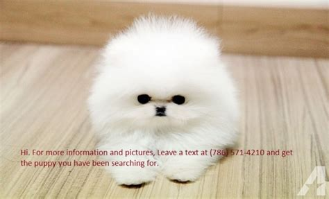 pomeranian breeders in ohio top quality white teacup pomeranian puppies for adoption for sale in cincinnati