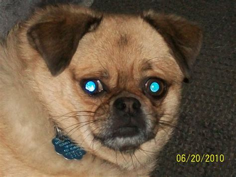 pug mixes our pets pebbles and quot m quot bob miller center arizona