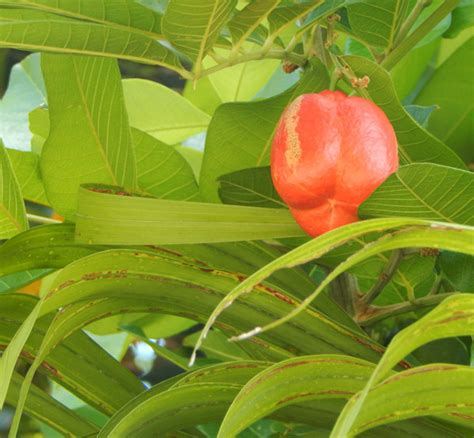 tropical fruit trees in florida and tropical fruit in south florida the