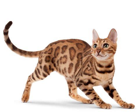Cat Breeds / Bengal   Royal Canin