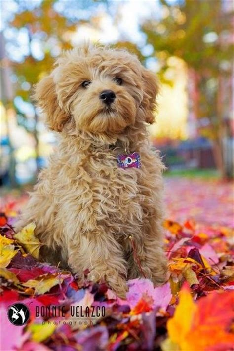 mini goldendoodles teddy mini teddy golden doodle all dogs juxtapost