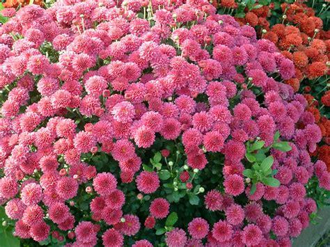 E M O R Y Fleurs 17emo122 chrysanthemes