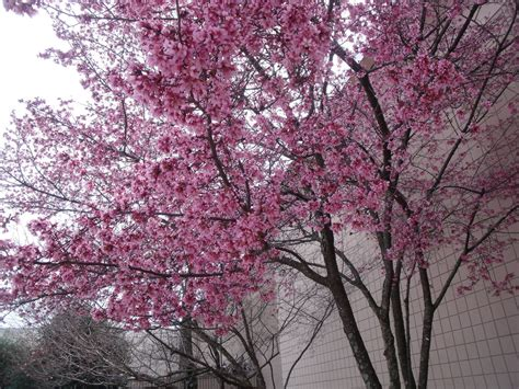 pink blossom tree by moonstone27 on deviantart
