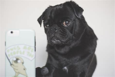 pug rescue ta how to make your instafamous the pug diary