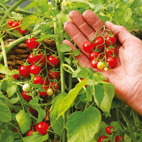 tomato plants hundreds  thousands micro