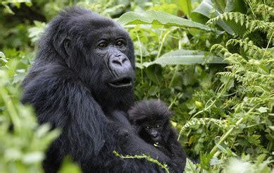 Cross River Gorilla - Endangered Animals