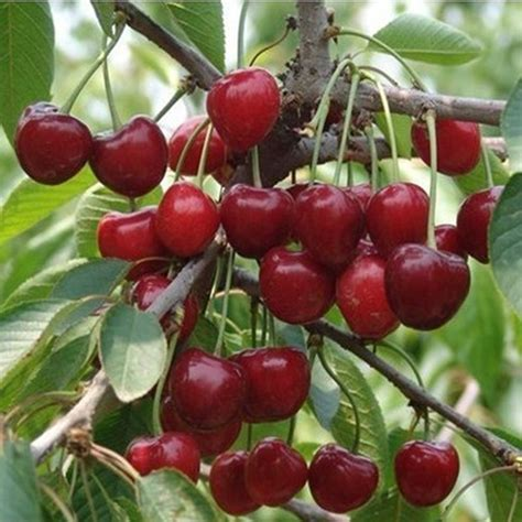 cost of fruit trees compare prices on organic fruit tree shopping buy