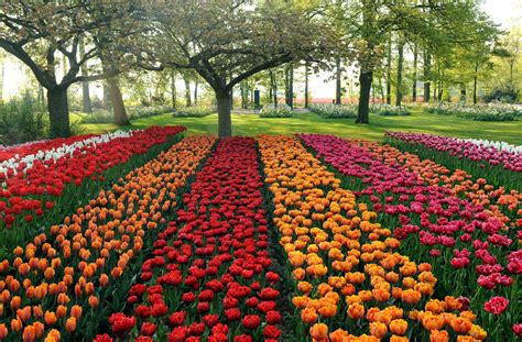 tulip flower garden exciting color colorful keukenhof tulip gardens 10 colorful places to visit 4