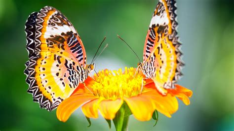 Butterfly And Beautiful Flowers Wallpapers Beautiful Butterflies And Flowers Wallpapers Wallpapersafari