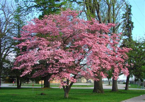 flowering dogwood tree seeds tree seeds for sale