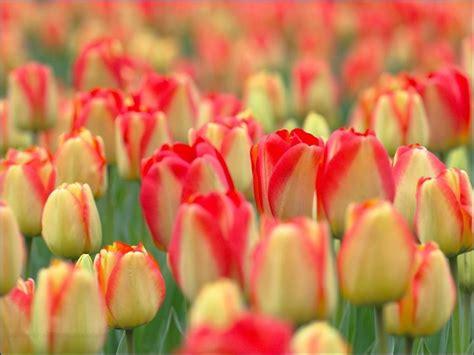 fiore tulipani fiori tulipano fiori delle piante