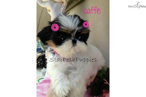 imperial shih tzu puppies arizona shih tzu puppy for sale for 3 500 micro teacup imperial shih tzu breeds picture