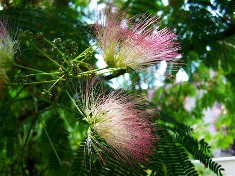 fiori acacia free photo japan silk acacia mimosa free image on