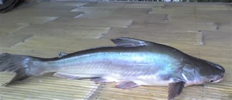 Minyak Ikan Patin budidaya ikan patin