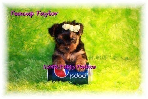 teacup puppies for sale in va teacup puppies for sale must see customers text for sale in