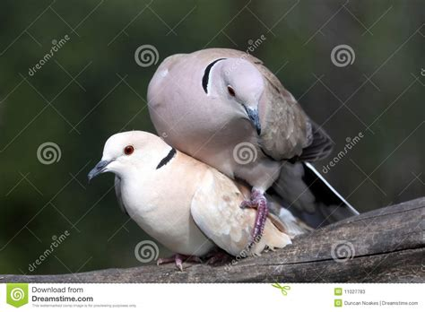 mating dove birds stock photos image 11027783