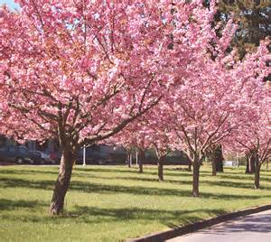 zibagz kwanzan flowering cherry