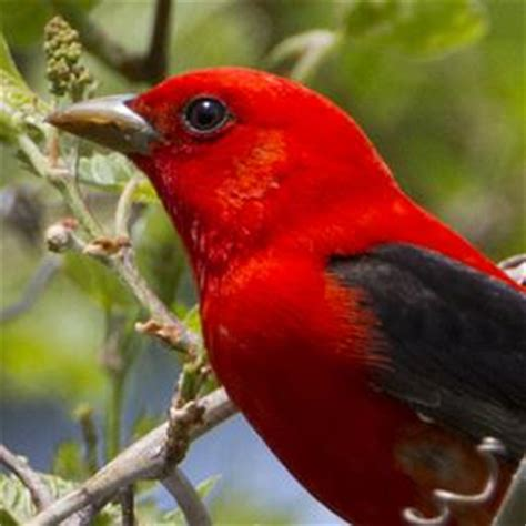 scarlet tanagers under the canopy | birdnote