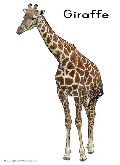 what color is a giraffe giraffe picture