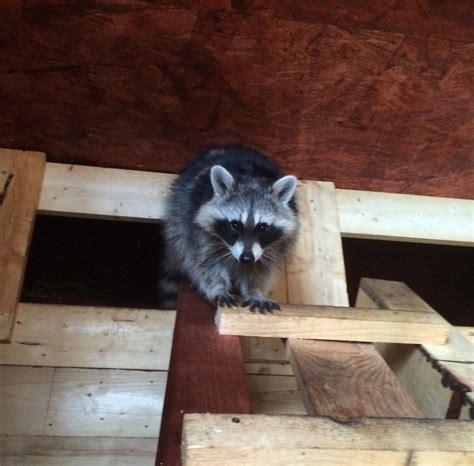 how to get rid of raccoons in your backyard dock lighting