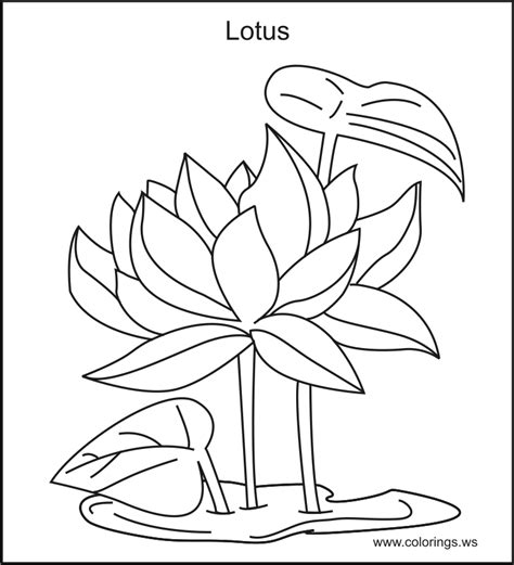 printable pictures of lotus flowers lotus flower coloring page coloring home