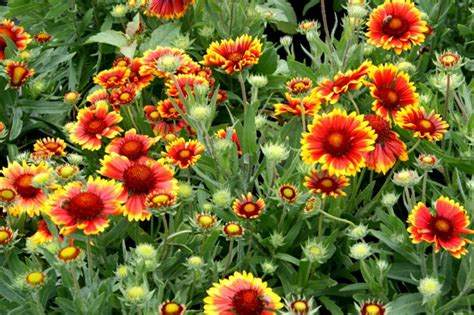 long lasting summer flowers a joys covers are eye and soul hum ideas