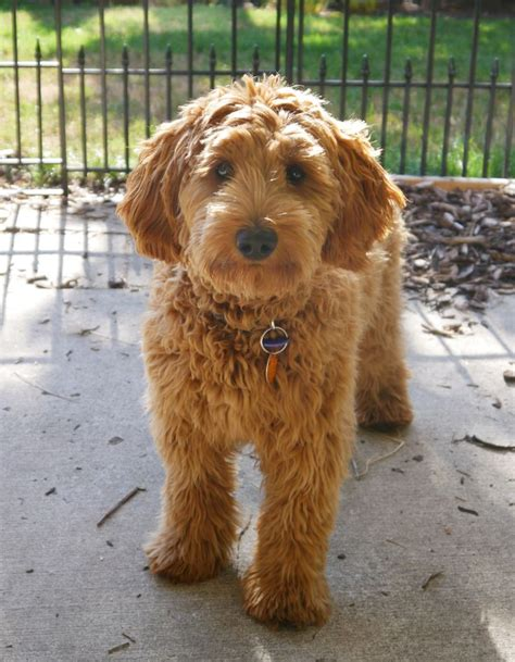 mini doodle nederland 25 best ideas about goldendoodle haircuts on