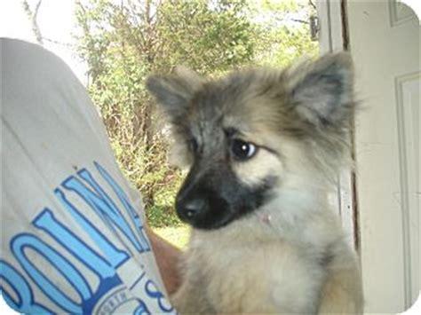 pomeranian keeshond cajun adopted puppy bridge nj pomeranian keeshond mix