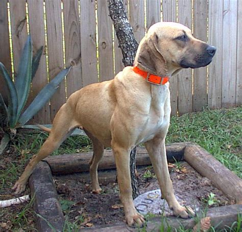 black cur high on the hog kennel