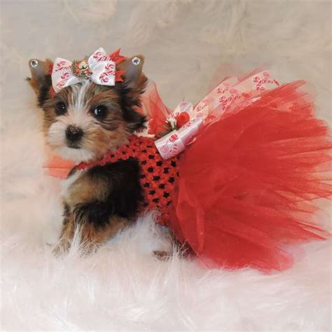 free yorkie puppies in az yorkie puppies for free adoption 0 00 lovely and yorkie puppies breeds picture