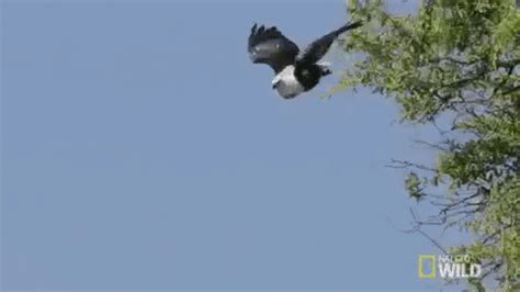 swooping nat geo wild gif by savage kingdom find & share