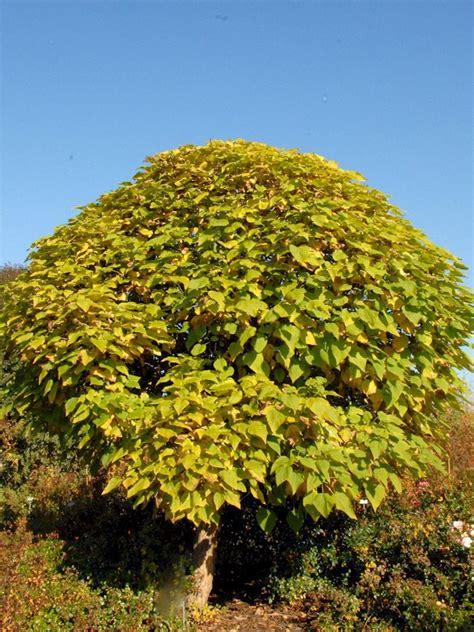 kugel trompetenbaum kaufen kugel trompetenbaum catalpa bignonioides nana g 252 nstig