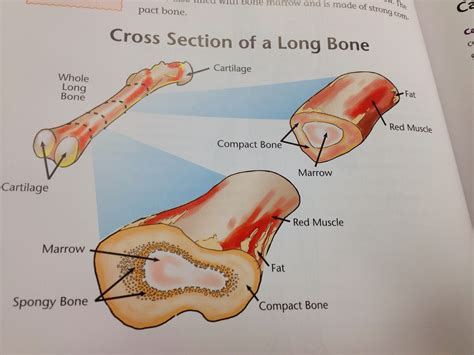 bone marrow section long bone cross section anatomy organ