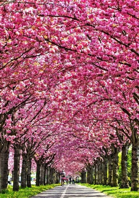 japanese blossom tree 25 best ideas about cherry blossom tree on pinterest