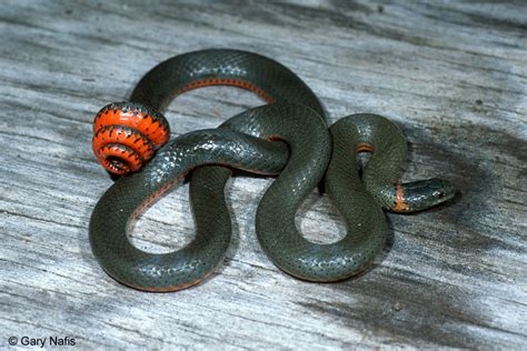 black snake with orange ring around neck ring necked snakes found in california