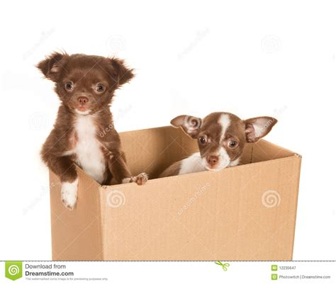 puppy in a box puppy dogs in a box royalty free stock photography image 12235647
