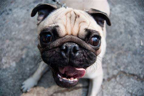 happy pug happy friday pug quotes