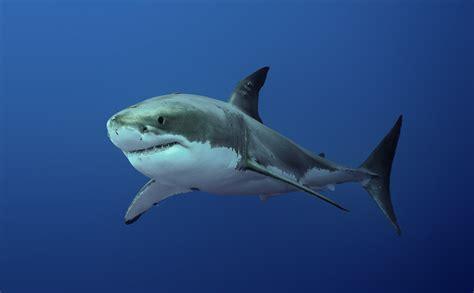 australia el gran tibur 243 n blanco documental completo youtube image gallery tiburon blanco