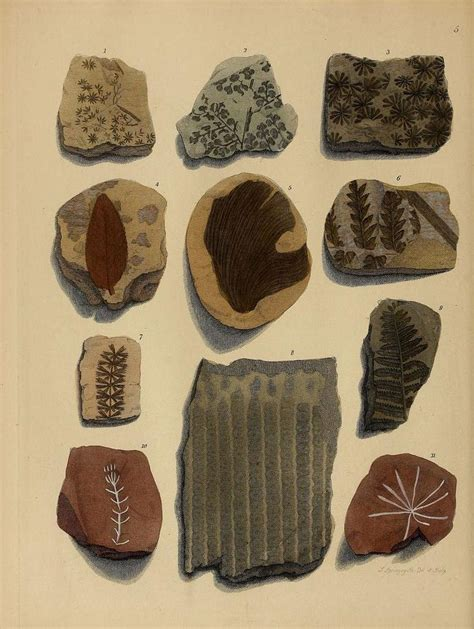 Fossil F 3188 3188 best 0 images on flora plants and vintage prints