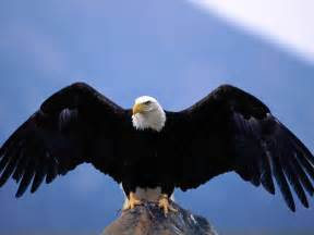 True wild life eagle the eagle is a generally large sized bird of prey